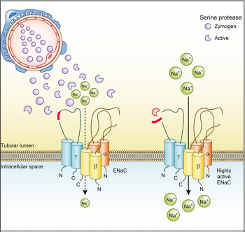 Proteolytic Activation of the Epithelial Sodium Channel in Nephrotic Syndrome by Proteasuria: Concept and Therapeutic Potential